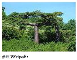 生命の木と呼ばれる 『バオバブ』種子オイル