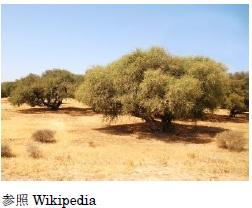 モロッコの黄金奇跡のオイル『アルガンオイル』